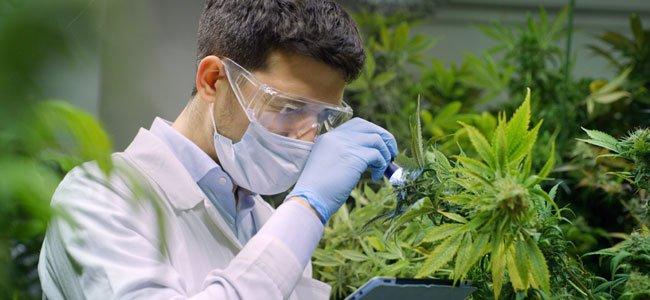 Le CBD un composant du Cannabis